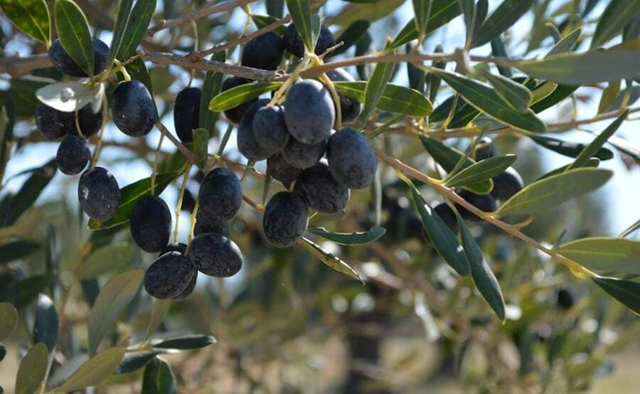 World Olive Tree Day