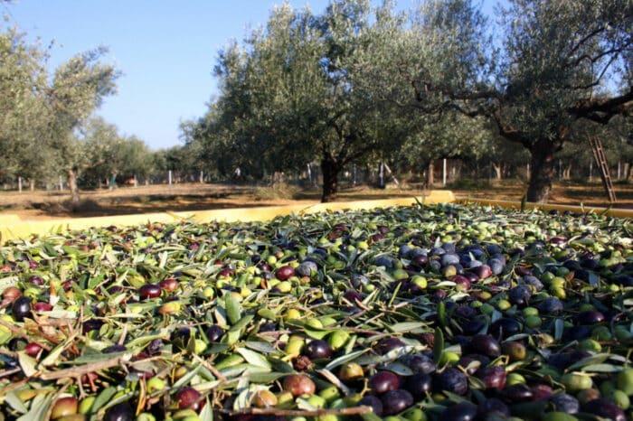 Olive Harvest at Ktima Golemi
