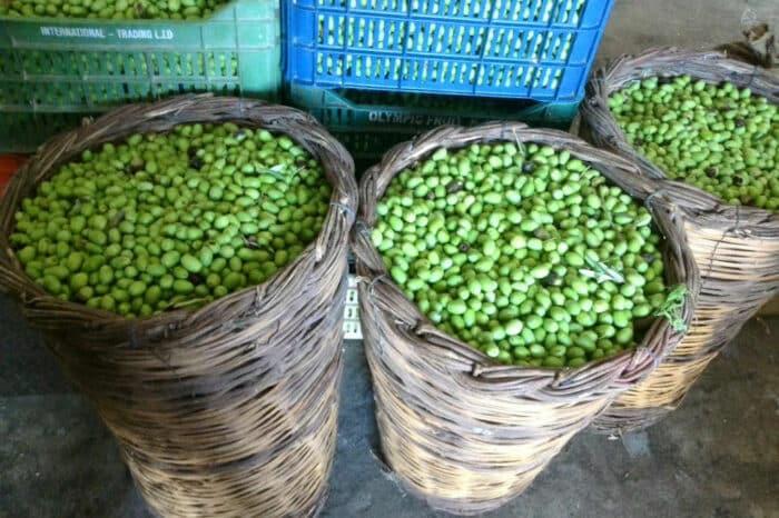 Olive Harvest at Konstas Olive Tours