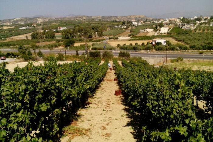 Grape Harvest & Wine Making at Efrosini Winery