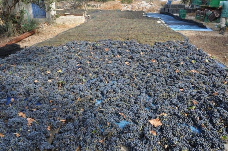 spreading grapes on the ground for drying in the sun at 'Amorgion' outside