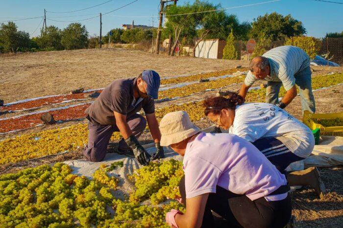 Grape Harvest at Yiayia's Tastes